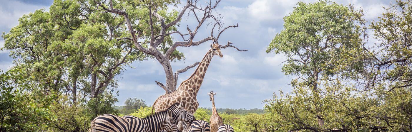 Zèbres et girafes du parc Kruger