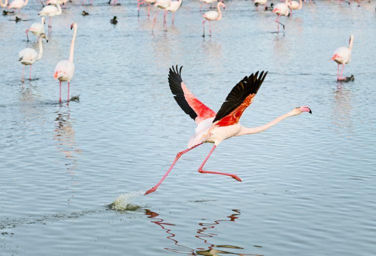 Flamant rose dans le parc ornithologique de Pont de Gau
